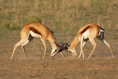 Scientific Article 3 - Sexual Selection in Giraffes: neck ...
